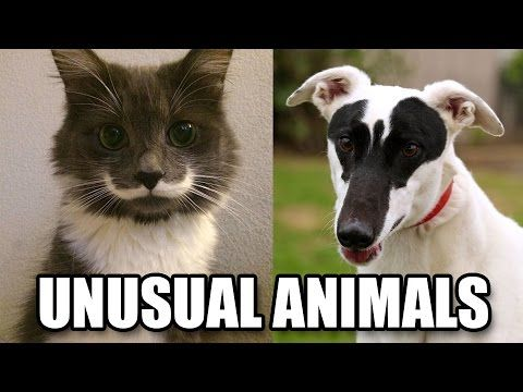 Animal markings form randomly (within certain genetic guidelines), so sometimes they can't help but form shapes that we can recognize. And it probably makes no difference to them whether they're going to walk around with a mustache or a heart on them for the rest of their lives.