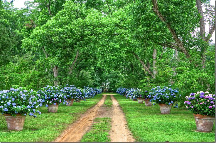 Blue hydrangeas in pots, enmasse