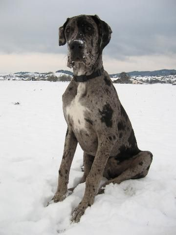 Blue merle Great Dane puppy at 4 months old.