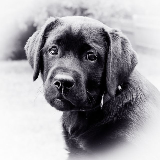 "20110617 Black Labrador Retriever "" Lotte "" by Black Labrador Lotte, via Flickr"