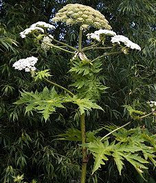 BEWARE of the giant hogweed plant that can cause blisters, burns & blindness.The plant is native to central Asia & has spread quickly in the U.S. North East, Midwest, & Pacific Northwest. The plant's dangerous sap is clear & watery & contains toxins, which causes a skin hypersensitivity to ultraviolet rays. http://news.yahoo.com/video/innocent-looking-plant-poses-serious-151214291.html