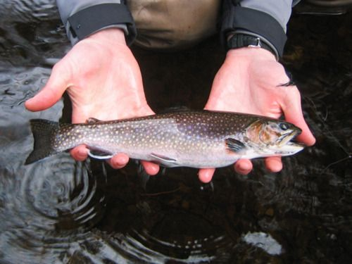brookAdventure 101, Fishy Fishy, Fly Fish, Caught Fish, Trout Fishing Mi Dads, Outdoor, Creatures, Brooks Trout, Man