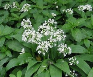 7 best white flowers 6 petals images on pinterest white flowers ramsons picture mightylinksfo