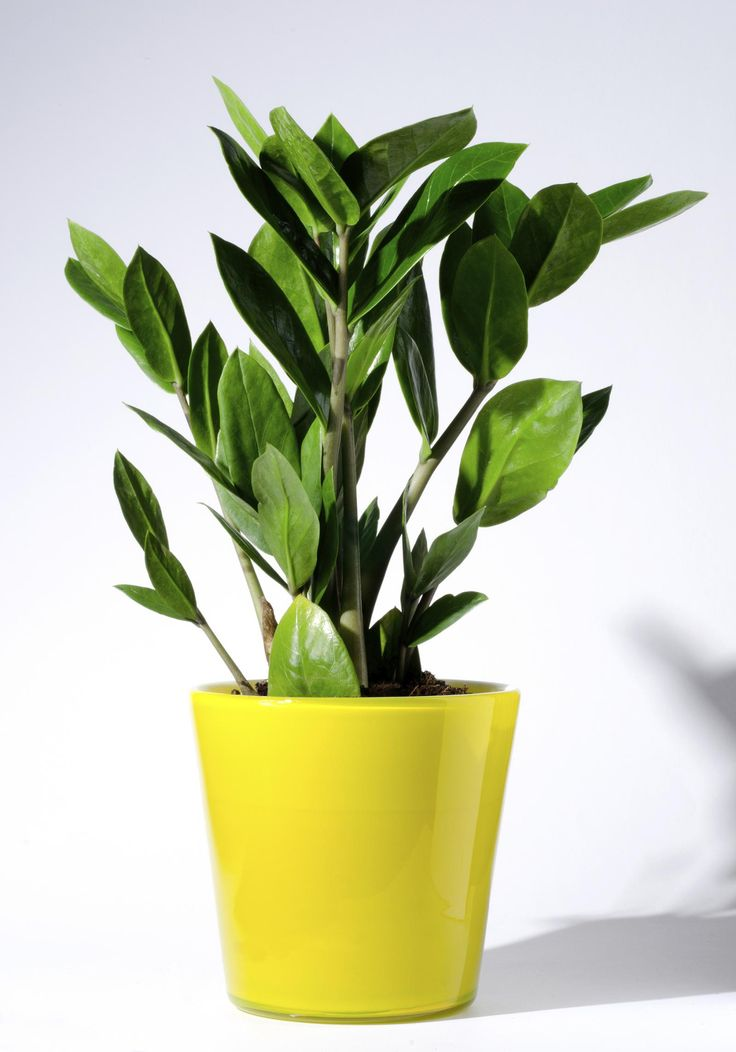 65 best images about zamioculcas plants on pinterest for Plante zamioculcas