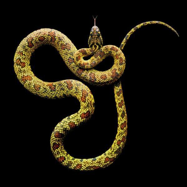 Des serpents dangereux ( ou pas ) serpent dangereux 03
