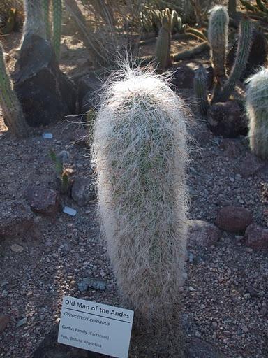 """""""Hombre viejo de los Andes"""". El pelo blanco son espinas modificadas que protegen de la vista las reales espinas.: Desert, Andes, Pelo Blanco, Blanco Son, Otras Plantas, Plantas Del, Vista Las, Las Reales"""