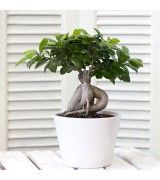 http://www.floraison.gr/en/bonsai-tropical-plants/127-ficus-white-pot.html Wonderful ficus Ginseng in modern white clay. Water 3-4 times per week. Light pruning once per month and stronger every February and September.