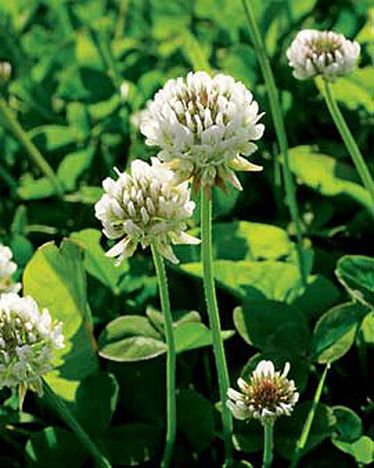 White Clover Seed, remember this growing wild in Kentucky all over the place. Ah, the memories!