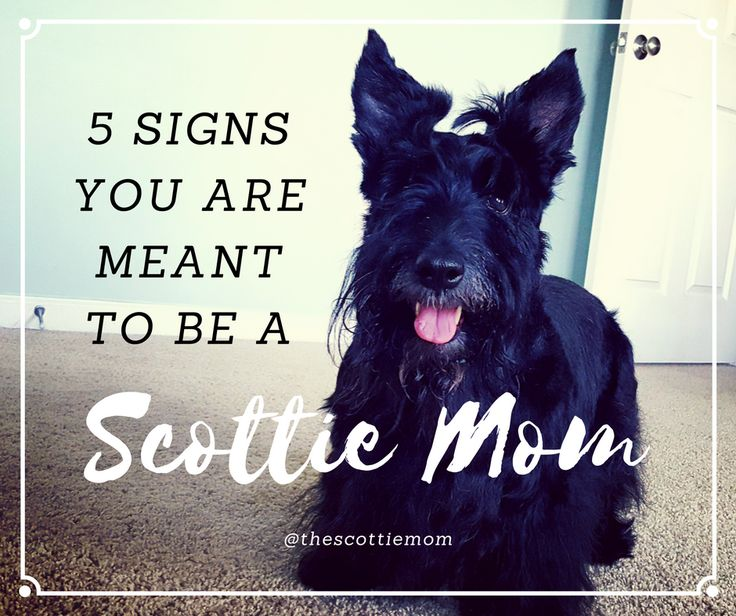 4257 best scotties images on pinterest scottie dogs scottish a blog for people who love scottish terriers written by a proud rescue dog mom solutioingenieria Images