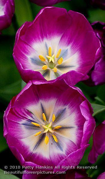 tulip_negrita_6314
