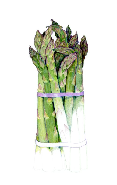 The Return of Spring, asparagas pencil drawing by Sarah Melling