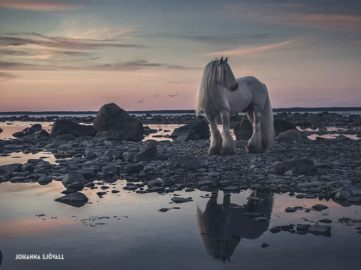 Equine photography print! Seaside at the west coast of Finland with the gypsy vanner-stallion The Blue Boss