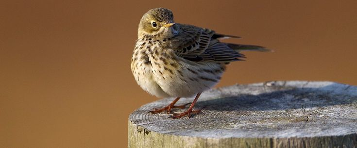 Meadow Pipit http://www.rspb.org.uk/Images/meapi_tcm9-335553.jpg?width=1170&crop=(0,220,1100,678)