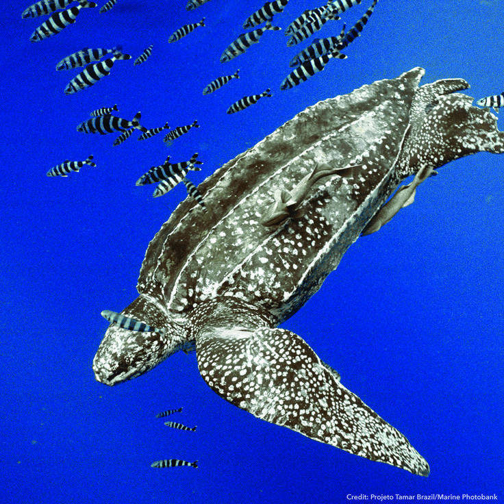 #LeatherbackTurtles can trace their evolutionary roots back to before #dinosaurs walked the Earth #FunFact! Read about our work with leatherback #turtles here: http://www.fauna-flora.org/species/leatherback-turtle/