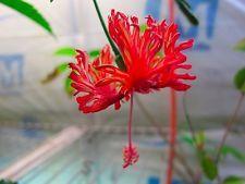 Hibiscus schizopetalus!!! Amazing flowers and leaves!!