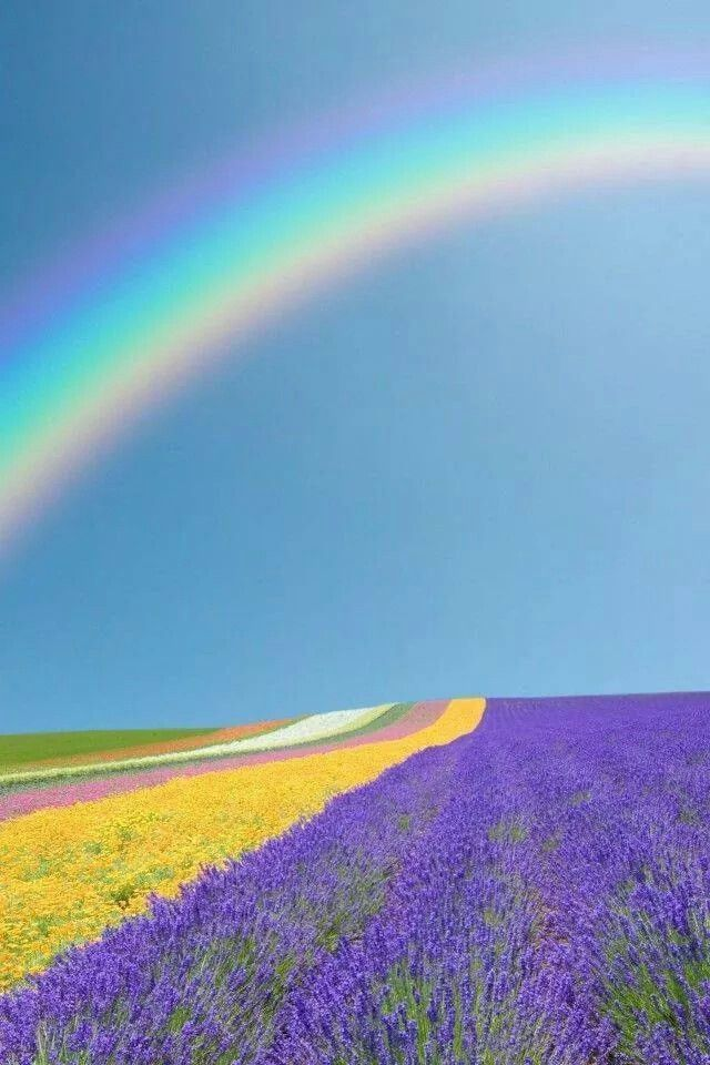 The Rainbow of God's Promise over fields of Lavender and other flowers. Probably in the South of France where flowers especially Lavender are a Commercial crop.