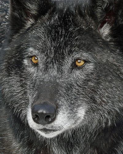 The Eyes Speak ....  ♥ Beautiful !!!  You should see the wolf photo's I have have sire and off spring  Photo