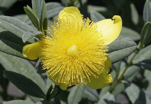 St John's Wort Hypericum frondosum 'Sunburst' - it's values in the native landscape...: Native Landscape