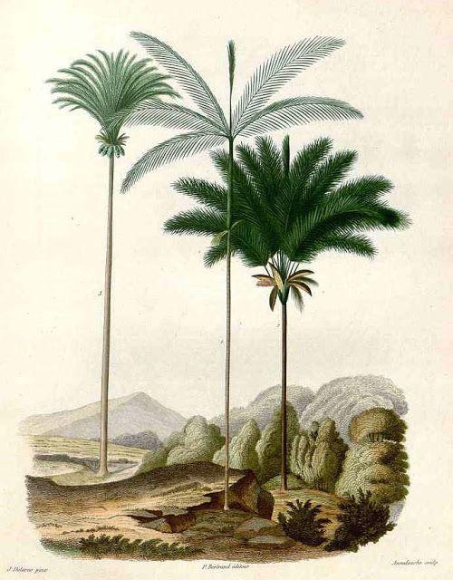 """Olímpia Reis Resque: A majestosa Inajá """"...erguem-se outras palmeiras: paxiúba (Iriartea exorrhiza), a majestosa inajá (Maximiliana regia), bacaba (Oenocarpus bacaba) e o esguio açaí (Euterpe oleracea),..."""". Texto de Theodor Koch-Grünberg (1872-1924) com ilustração em: A. D.  d´Orbigny. Voyage dans l´Amérique Méridionale, v. 7, n. 3, 1847. No Blog: olimpiareisresque.blogspot.com. Visite!"""