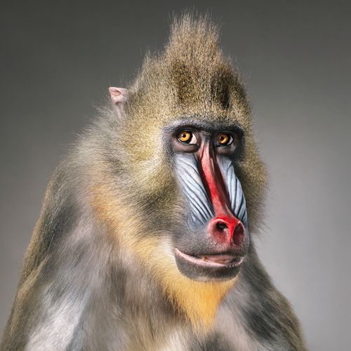 Mandrill by Tim Flach #monkey #mandrill #animal #photography