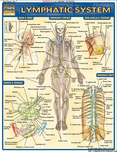 124 best projects to try images on pinterest projects to try the bar chats lymphatic system reference guide is a great learning tool for any nursing or pre med student the chart is filled with clearly labeled and fandeluxe Gallery