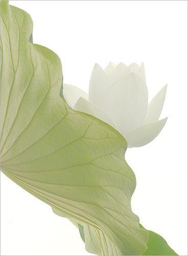 Google Image Result for http://stoposto.tk/uploads/lotus-flower-white-flower-white---imgp6230-41127.jpg