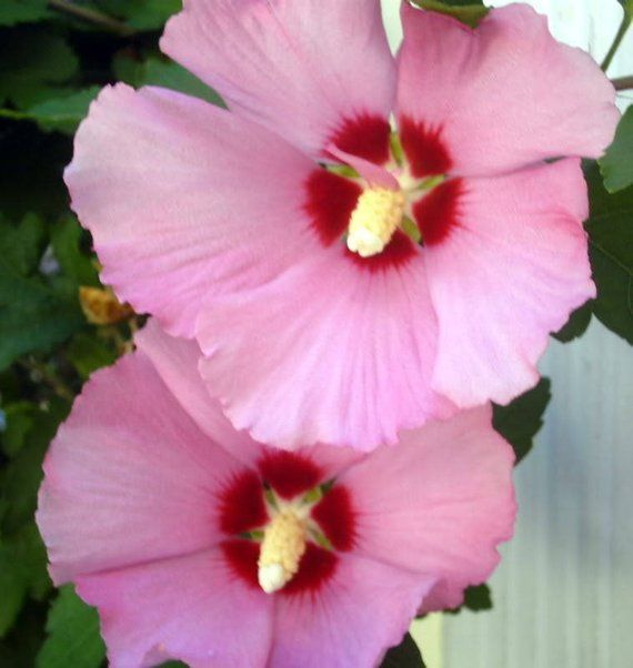 Description Name Rose Of Sharon Other Common Names Hibiscus Althea Aarons Beard Scientific Name Hibiscus Syriac Rose Of Sharon Flowering Trees Hibiscus