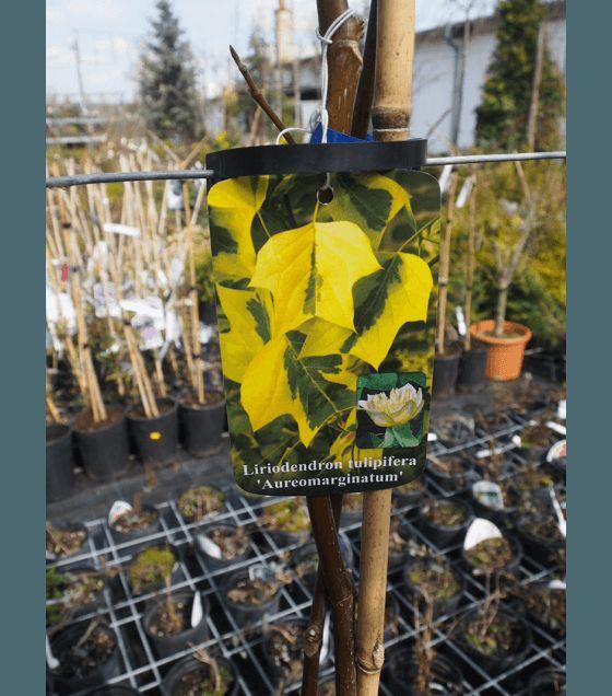 Liriodendron tulip. Aureomarginatum - Лирово дърво пъстролистна форма