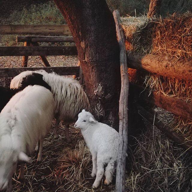 🐏 💕  #sardinia #sardegnagram #sardegna #sardegna_reporter  #instasardegna  #homeland  #nature #motherearth #mothernature #culture #antrophology #tradition #traditions  #differentcultures #lovenature #picoftheday #photoftheday #instagood #instadaily #daily #sinnai #pineta #puppy #puppies #sheep #cute  #kawaii