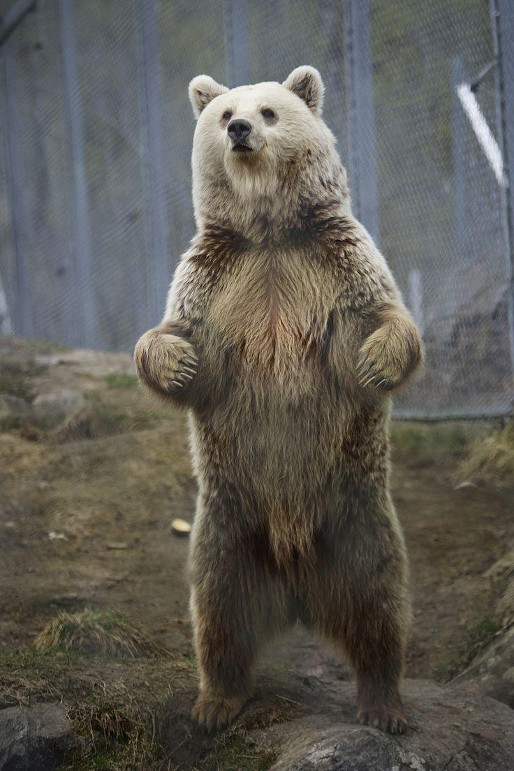 The European Brown Bear