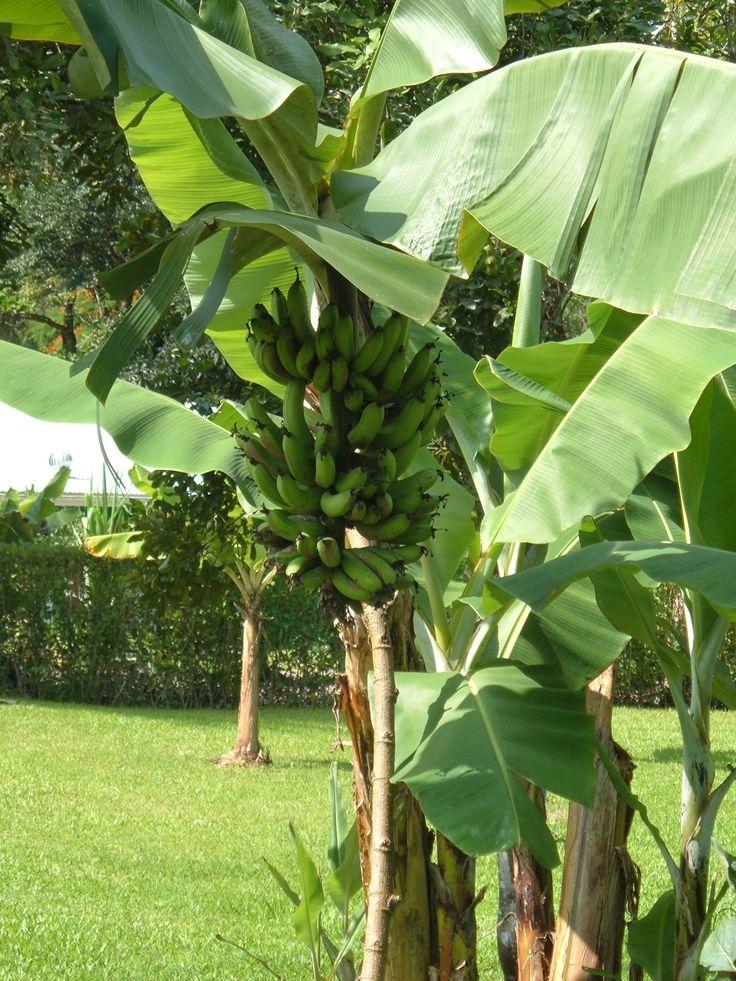 Banana Tree in the botanical gardens - Port Vila