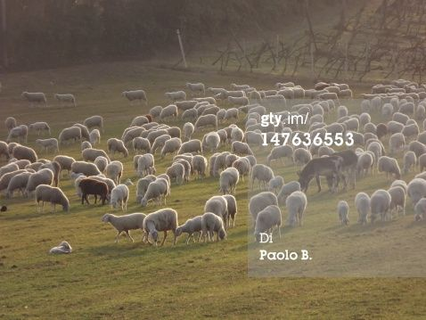 Foto stock : Flock of sheep