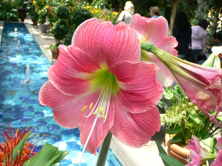 Quelle beauté cette fleur d'Amaryllis