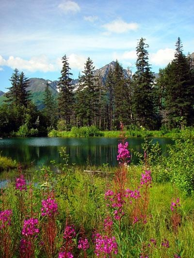 Fireweed, when the fireweed show's you have 6 weeks to winter!!!! (supposedly)