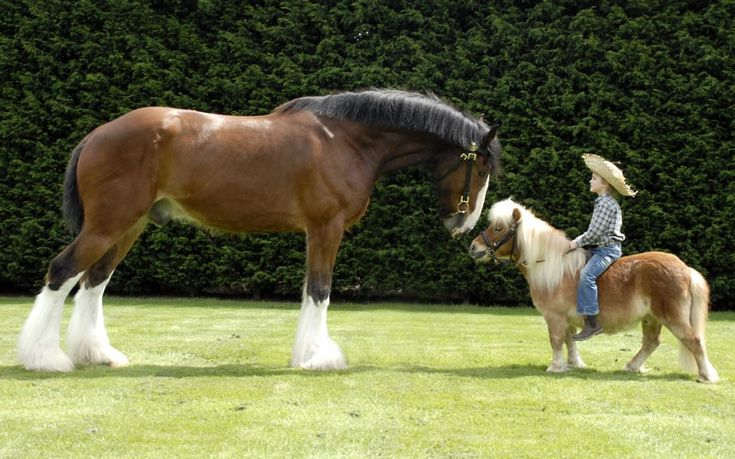 Max Cooper, 5, riding a Shetland pony named Truffles, meets a Shire horse named Jake, to promote Only Paws and Horses, a horse and dog show at The Hop Farm near Paddock Wood, Kent, on 26 and 27 May.  Picture: The Hop Farm