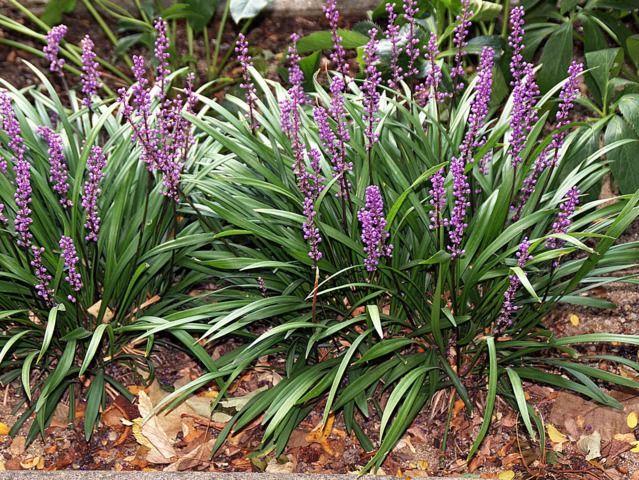 liriope muscari une jolie plante vivace couvre sol qui fleurit en t et en automne conseils. Black Bedroom Furniture Sets. Home Design Ideas