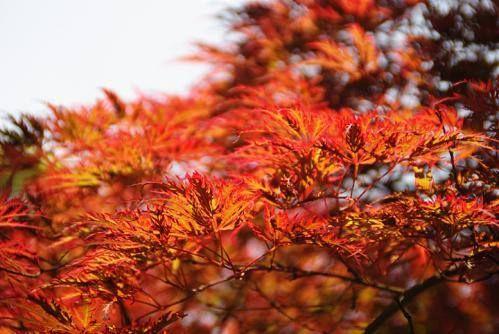 5月31日【ベニシダレモミジ】学名:Acer amoenumvar.matsumurae別名 アカシダレモミジ形態:落葉樹 樹高:高木分類:カエデ科花色:赤紫色使われ方:庭木、公園樹などとして使われています。