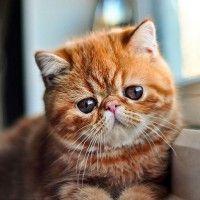 #dogalize El Gato Exotico: conoce este hermoso felino #dogs #cats #pets