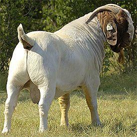 Lewis Creek Boer Goats- Another Notch- #babygoatfarm