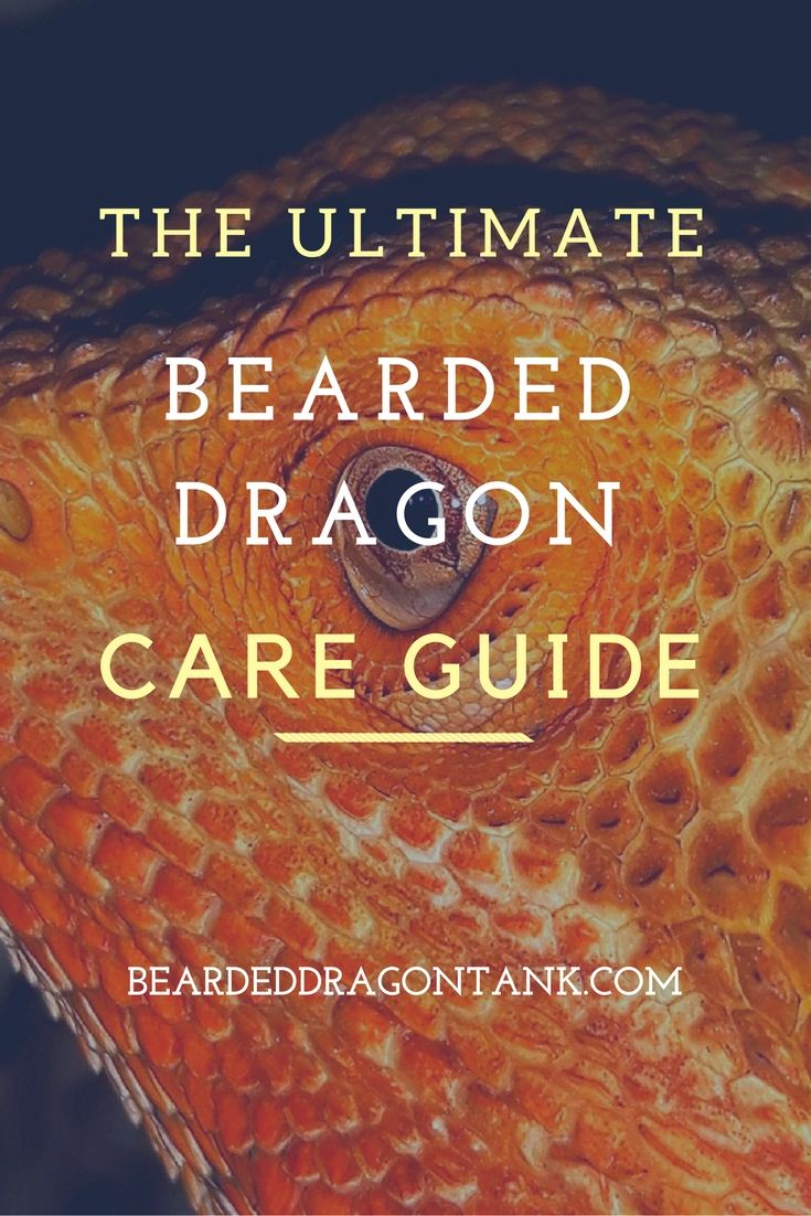 A complete bearded dragon care guide! From diet to setting up a habitat - you…