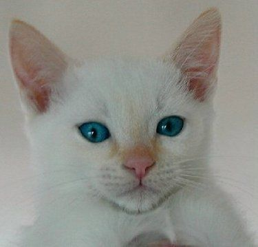 Colorpoint Shorthair cats are traditionaly any color, red point (also called flame point), cream point, any colors in tabby point (also called lynx point), and any of the  combinations in tortoiseshell point