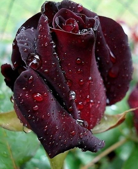 10 best rose black baccara images on pinterest beautiful flowers pretty flowers and beautiful. Black Bedroom Furniture Sets. Home Design Ideas