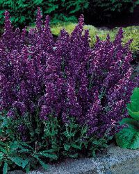 May Night Salvia  Rich lavender-blue blossoms.  Zone 3a  Sun, Deer resistant, cut flower