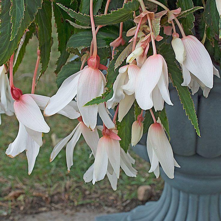 Begonia boliviensis Bossa Nova® Pure White