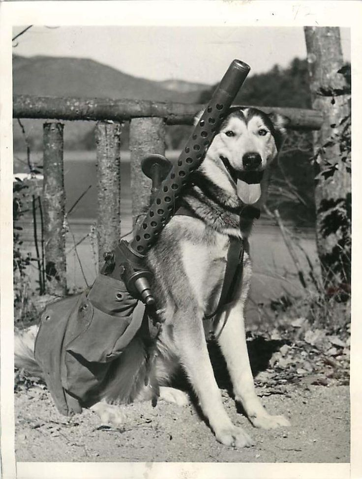 """1942- """"Muklug"""", one of the Siberian Huskies being trained to carry machine guns at the Chinook Kennels at Wonalancet, New Hampshire."""