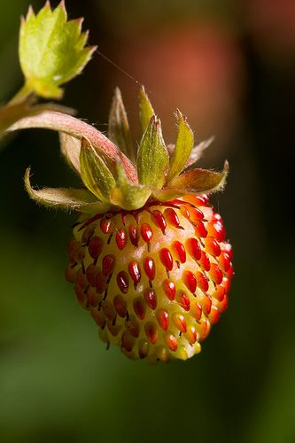 wild strawberry by the roadside