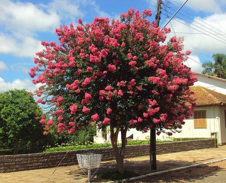Resed rosa pesquisa google esp cies vegetais for Arboles de hoja perenne para jardin