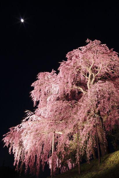 Cherry tree in Fukushima, Japan