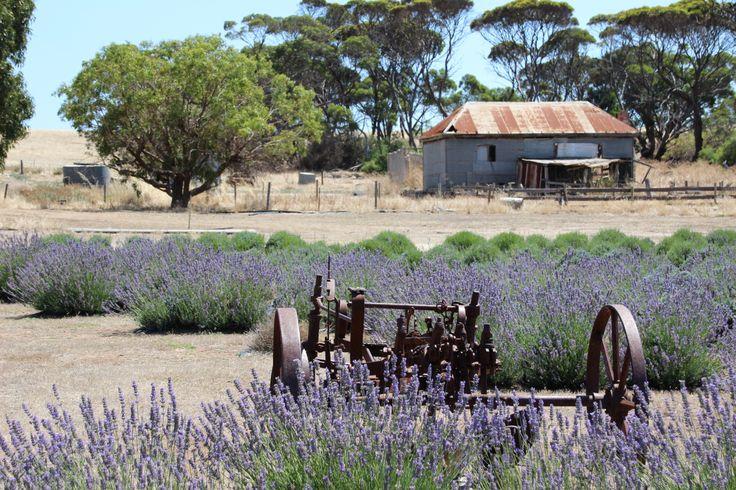 Emu Bay Lavender farm, Kangaroo Island, South Australia.