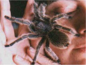 Picture of a Rose-haired Tarantula or Chilean Rose-haired Tarantula